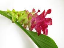 Een roze bloem van de ?Kurkuma? royalty-vrije stock foto's