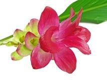Een roze bloem van de ?Kurkuma? royalty-vrije stock afbeeldingen