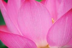 Een roze bloem van Lotus Royalty-vrije Stock Afbeeldingen