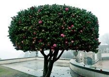 Een roze boom in dikke mist royalty-vrije stock foto