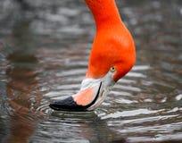 Een Roze Geïsoleerd Flamingo Drinkwater Stock Afbeeldingen