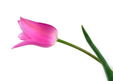 Een roze geïsoleerder tulp royalty-vrije stock foto's