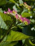 Een roze hydrangea hortensia Royalty-vrije Stock Foto