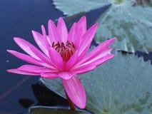 Een roze lotusbloem royalty-vrije stock afbeeldingen