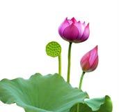Een roze lotusbloembloem, stock foto's