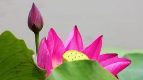 Een roze lotusbloembloem en een lotusbloem ontluiken in een vijver roze lotusbloembloem en lotusbloem stock footage