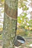 Een rubberboom Royalty-vrije Stock Foto's