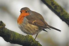 Een rubecula van het roodborstjeerithacus van Robin op een boomtak stock fotografie
