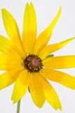 Een Rudbeckia-hirtaclose-up Royalty-vrije Stock Afbeelding
