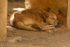 Een rustende wilde hond Stock Afbeeldingen