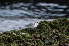 Een Sanderling op een Seagrass Behandelde Rots stock foto's