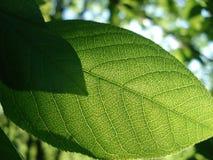 Een sappig groen blad van de boom gaat goed zonlicht over Stock Foto