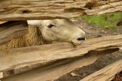 Een schaap dat door een houten omheining tuurt royalty-vrije stock foto's