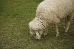 Een schaap dat op het gebied weidt. Royalty-vrije Stock Afbeeldingen