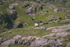 Een schaap die rond alleen in de bergen van Healy Pass, een 12 km-route door de grensgebieden van Cork en van Kerry provincies wa stock fotografie