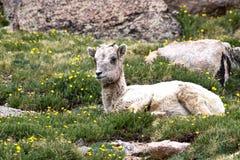 Een schaap die van babyrocky mountain in wildflowers rusten Royalty-vrije Stock Fotografie