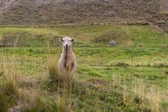 Een schaap kijkt vooruit in het midden van een weiland royalty-vrije stock afbeelding