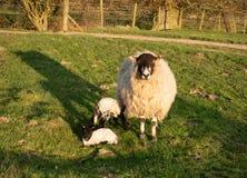 Een schaap met nieuw - geboren lammeren royalty-vrije stock afbeelding