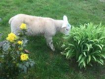 Een schaap op groen gras met gele narcissen Stock Fotografie