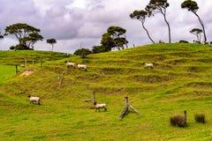 Een Schapenlandbouwbedrijf in Nieuw Zeeland stock foto