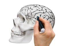 Een schematische schets van de menselijke hersenen royalty-vrije stock afbeeldingen