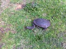 Een schildpad Stock Afbeeldingen