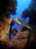Een een Schildpad en Zeeëngel van Hawksbill op de muur van Santa Rosa in Cozumel royalty-vrije stock foto's