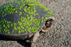 Een schildpad op de weg Royalty-vrije Stock Afbeeldingen