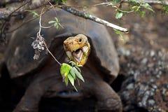 Een schildpad van de Galapagos stock afbeeldingen