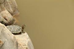 Een schildpadverblijf op een steen in een vijver Stock Foto