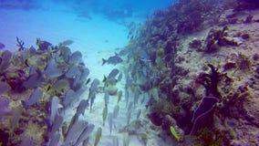 Een schol van gegromvissen die voorbij een koraalrif in de wateren van Playa del Carmen zwemmen stock video