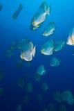 Een school van Cirkelbatfish (orbicularis Platax) Stock Foto's