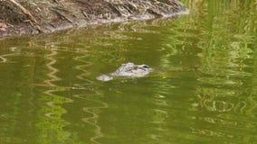 Een schot van alligator stock footage
