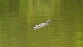 Een schot van alligator op water stock videobeelden
