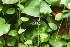 Een schot van een grote gele vlinder Stock Afbeelding