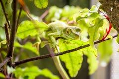 Een schot van een Inheemse groene gekko van Nieuw Zeeland royalty-vrije stock foto
