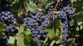 Een schot van rode druiven bij wijngaard stock video