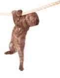 Een Schots vouwenkatje hangt op de kabel stock foto's