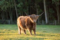 Een Schotse Hooglander stock afbeeldingen