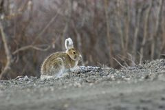 Een schrijver uit de klassieke oudheid stelt van het konijn Stock Fotografie