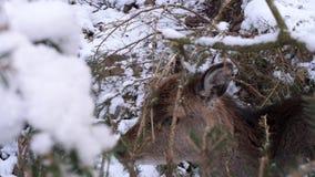 Een schuw hert in de winter stock video