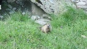Een schuwe marmot in de bergen stock videobeelden