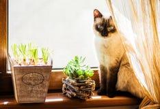 Een schuwe siamese kattenzitting op de vensterrand Stock Foto