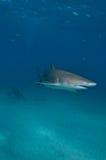 Een Scuba-duiker die op een citroenhaai letten Stock Foto's