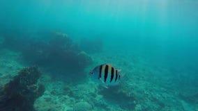 Een sergent smal-Gestreepte sergeant van Bengalen in marien aquarium Abudefdufbengalensis is vrij wijdverspreid in Indo stock videobeelden