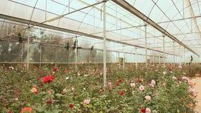 Een serre met rozen in een park van bloemen in Dalat Het schieten in motie stock footage