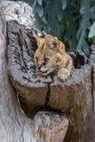 Een serval kat die uit een boomboomstam beklimmen royalty-vrije stock afbeeldingen