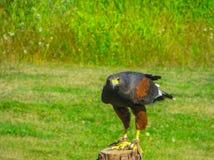 Een show van roofvogels in een nationaal park dichtbij Vancouver stock afbeeldingen