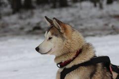 Een Siberiër schor in uitrusting Stock Foto