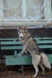 Een Siberische brutaaltjehond beklimt een bank Stock Foto's